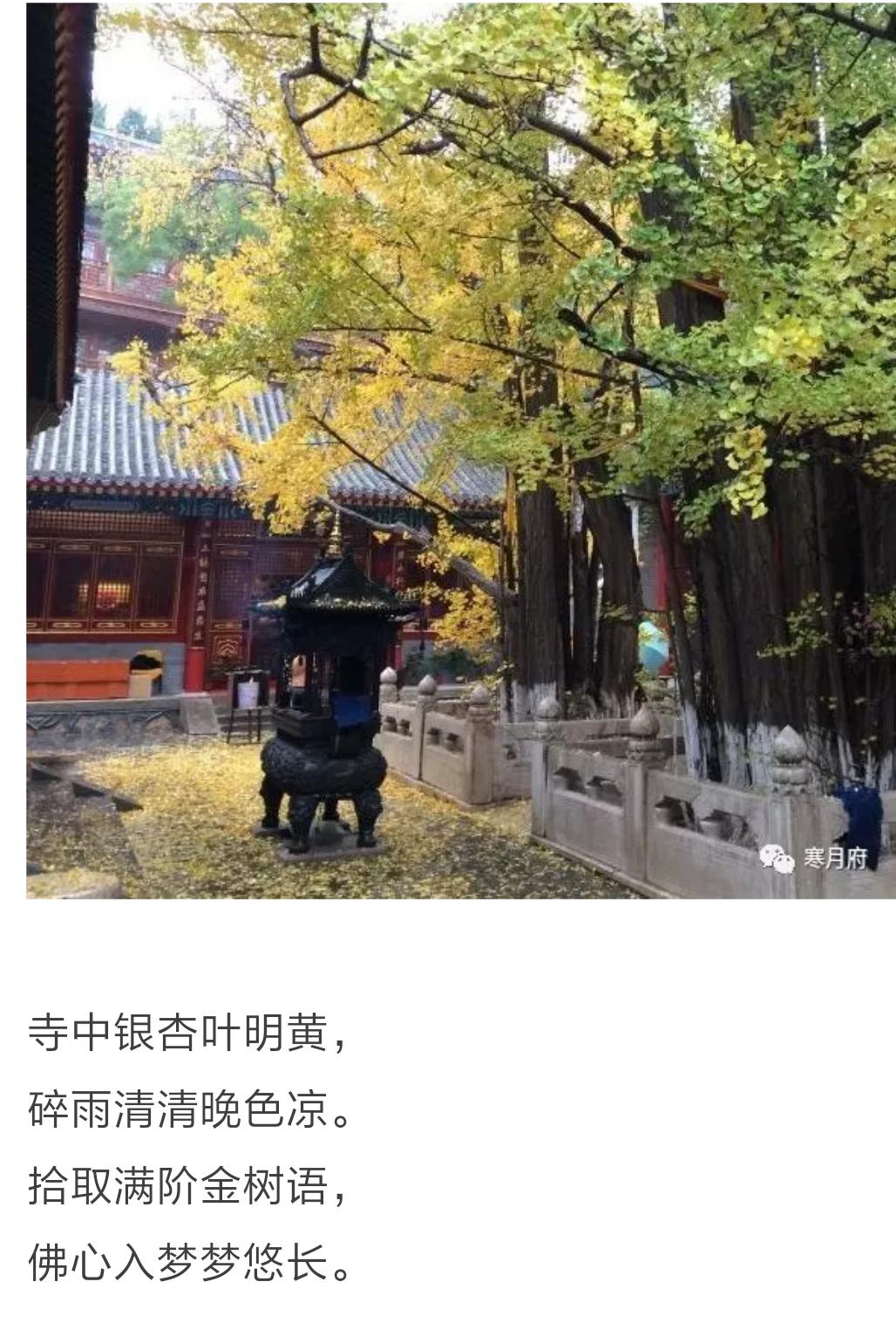 禅寺银杏(李巧明、笔名朱门寒月的诗)