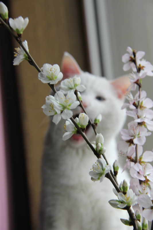 关于一直白猫